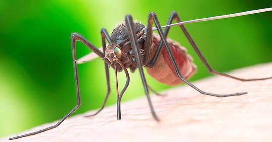 Un champignon OGM pourrait éradiquer le paludisme